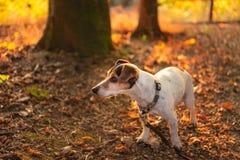 Jack Russell Terrier w drewnianym w zmierzchu zdjęcia royalty free