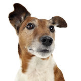 Jack Russell Terrier waching in a white studio. Jack Russell Terrier portrait in studio Stock Image