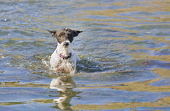 A Jack Russell terrier wading Royalty Free Stock Images