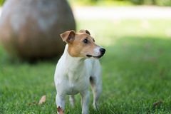 Jack russell terrier. A jack russell terrier waiting for the ball to play Royalty Free Stock Images