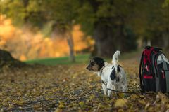 Jack Russell Terrier is waiting in the forrest stock photo