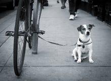 Jack Russell Terrier Waits Fotografia de Stock Royalty Free