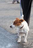 The Jack Russell Terrier walking on a lead with the owner Royalty Free Stock Images