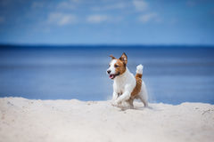 Jack Russell Terrier walking, playing on the beach in summer Stock Photo