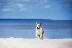 Jack Russell Terrier walking, playing on the beach in summer Royalty Free Stock Photo