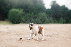 Jack Russell Terrier walking, playing on the beach in summer Stock Photos