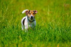 Jack russell terrier walks in the summer. Across the lawn stock photography