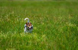 Jack russell terrier walks in the summer. Across the lawn stock image