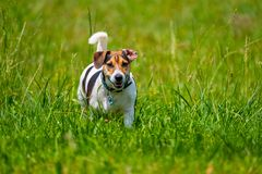 Jack russell terrier walks in the summer. Across the lawn royalty free stock photos