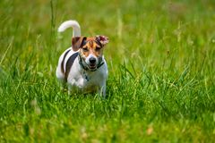 Jack russell terrier walks in the summer. Across the lawn stock photos