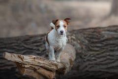 Jack Russell Terrier walks in the woods. sweet small dog in nature. Jack Russell Terrier walks in the woods. small dog in nature royalty free stock photo