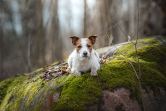Jack Russell Terrier walks in the woods. sweet small dog in nature. Jack Russell Terrier walks in the woods. small dog in nature royalty free stock photos