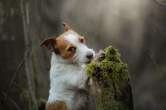 Jack Russell Terrier walks in the woods. sweet small dog in nature. Jack Russell Terrier walks in the woods. small dog in nature royalty free stock images