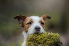 Jack Russell Terrier walks in the woods. sweet small dog in nature. Jack Russell Terrier walks in the woods. small dog in nature stock image