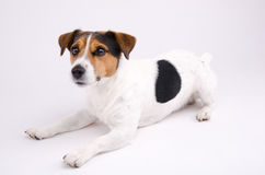 Jack Russell terrier. Want game Stock Images