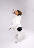 Jack Russell terrier. Want game Royalty Free Stock Photos