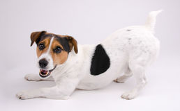 Jack Russell terrier. Want game Royalty Free Stock Photo