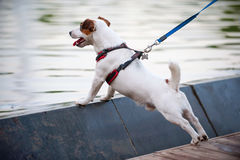 Jack Russell terrier at water background Royalty Free Stock Images