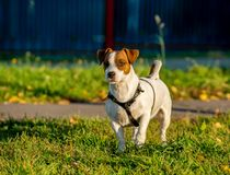 Jack Russell terrier wearing dog harness standing on green grass with yellow leaves royalty free stock photo