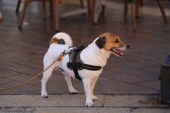 Jack Russell Terrier Wearing Harness Fotografía de archivo libre de regalías