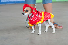 Jack Russell Terrier Wears Fireman Costume In Contest Royalty Free Stock Images
