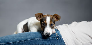 Jack Russell Terrier-Welpe, der auf dem Inhaber liegt. Stockbilder