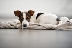 Jack Russell Terrier-Welpe, der sich hinlegt. Stockbilder