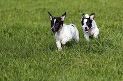 Jack Russell Terrier-Welpen Lizenzfreies Stockbild
