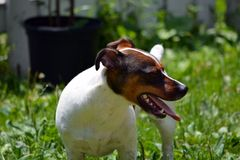 Jack Russell Terrier in Werf Royalty-vrije Stock Foto