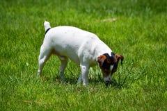 Jack Russell Terrier in Werf Royalty-vrije Stock Afbeelding