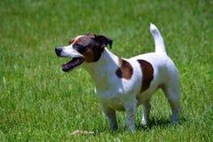 Jack Russell Terrier in Werf Royalty-vrije Stock Foto's