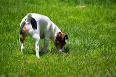 Jack Russell Terrier in Werf Royalty-vrije Stock Afbeeldingen