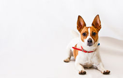 Jack Russell terrier on a white background Royalty Free Stock Photography