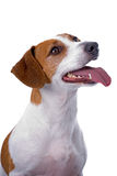 Jack Russell Terrier on White Background Royalty Free Stock Image