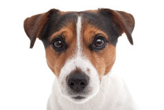 Jack Russell terrier. On white background Stock Images