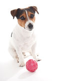 Jack Russell terrier. On white background Royalty Free Stock Photos