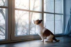 Jack Russell Terrier on the window sill. Jack Russell Terrier on the windowsill. The dog in the Studio stock image