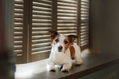 Jack Russell Terrier on the window sill. Jack Russell Terrier on the windowsill. The dog in the Studio stock photos