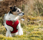 Jack Russell Terrier. A working Parson Jack Russell Terrier dog wearing a red harness royalty free stock photography
