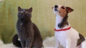 Jack Russell Terrier y gato almacen de metraje de vídeo