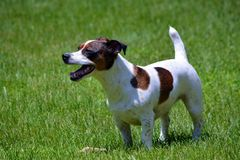 Jack Russell Terrier in Yard Royalty Free Stock Photos