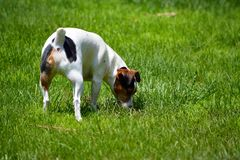 Jack Russell Terrier in Yard Royalty Free Stock Images