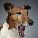 Jack Russell Terrier yawn in a dark studio. Jack Russell Terrier yawn in  dark studio Royalty Free Stock Images