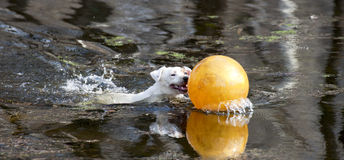 Jack Russell Terrier with yellow ball Royalty Free Stock Photos