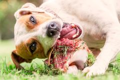 Jack Russell Terrier Young Dog Happily Chewing A Large Raw Bone