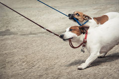 Jack Russell Terriers Stockfoto