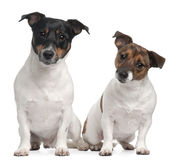 Jack Russell Terriers, 4 and 2 years old. Sitting in front of white background Stock Photos