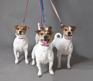 Jack Russell Terriers Immagini Stock