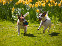 Jack Russell terriers playing fetch. Two Jack Russell terriers playing fetch with a ball, running towards camera on a lawn in spring with daffodils in the royalty free stock photography