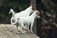 Jack Russell Terriers Ready to Hunt Royalty Free Stock Image